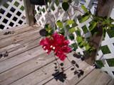 Rasberry Ice by nancymcarney, Photography->Flowers gallery