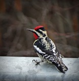 Woodpecker 2 by picardroe, photography->birds gallery