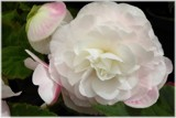 Tuberous Begonia 5 by LynEve, photography->flowers gallery