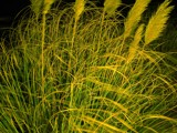 Sea Oats at Night by kentjohnson, photography->nature gallery