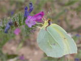 Brimstone - no treacle! by od0man, Photography->Butterflies gallery