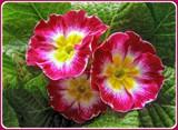 My Primrose by trixxie17, photography->flowers gallery