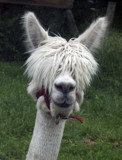 Blind as a llama by alharkrader, Photography->Animals gallery