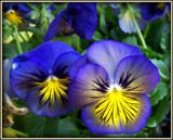 Duo - Pansies 2011 by trixxie17, photography->flowers gallery