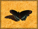 Tanning by vangoughs, Photography->Butterflies gallery