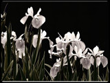 Intangible Irises by Hottrockin, Photography->Flowers gallery