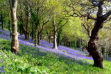 Bluebells 2 by lindala, Photography->Flowers gallery