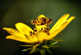 Honeybee by gerryp, photography->insects/spiders gallery