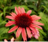 Hybrid Coneflower by trixxie17, photography->flowers gallery