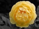 Late October rose by Paul_Gerritsen, Photography->Flowers gallery