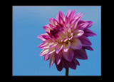 The Beauty of The Dahlia _ #10 by tigger3, Photography->Flowers gallery