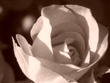 Fading Rose by tauly, Photography->Flowers gallery