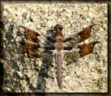 Calendar Double Wing Flyer by tigger3, photography->insects/spiders gallery