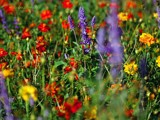 Field of Flowers by Samatar, photography->flowers gallery
