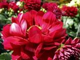Red Dahlia by trixxie17, photography->flowers gallery