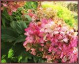 Autumn Hydrangea by trixxie17, photography->flowers gallery
