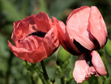 Popp'n Fresh by tigger3, photography->flowers gallery