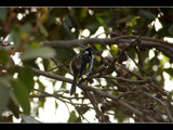 New Holland Honeyeater by panoramaster, Photography->Birds gallery