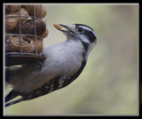 Woody Loves Peanuts by Jimbobedsel, photography->birds gallery