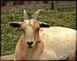 Sauder Village 14, 'Billy' by Jimbobedsel, Photography->Animals gallery