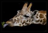 baby giraffe by JQ, Photography->Animals gallery