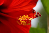 A Red Glow by rahto, Photography->Flowers gallery