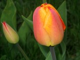 Tip Toe Through the Tulips by June, photography->flowers gallery