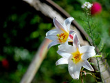 Work With New Lens #6 -  Lilies by braces, Photography->Flowers gallery