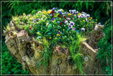 Pansies Don't Care Where They Grow by corngrowth, photography->flowers gallery