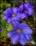 Blue Clematis by Dunstickin, photography->flowers gallery