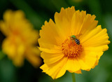 green bee in a yellow flower by solita17, photography->insects/spiders gallery