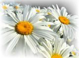 Shasta Daisies - Leucanthemum by LynEve, photography->flowers gallery