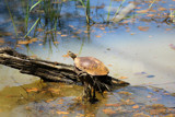 Turtle Getting a Tan by Pistos, photography->reptiles/amphibians gallery