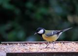 Great Tit by braces, Photography->Birds gallery