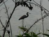 Heron Silhouette by muki7, Photography->Birds gallery