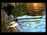 Garden Walk - Ducks Delight by LynEve, Photography->Birds gallery