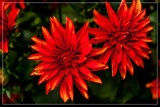 Foofy Friday Dahlia by corngrowth, photography->flowers gallery
