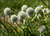 Rattlesnake Master - Air Station Prairie by trixxie17, photography->flowers gallery