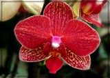 Red Orchid by trixxie17, photography->flowers gallery