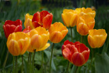 Tulips from by Ramad, photography->flowers gallery