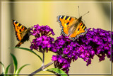 Collecting The Nectar by corngrowth, photography->butterflies gallery