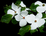 White Dogwood 3 by moongirl, Photography->Flowers gallery