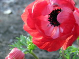 Anemone on a Blustery Day by Pistos, photography->flowers gallery