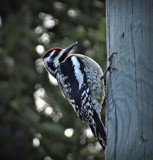 Woodpecker by GIGIBL, photography->birds gallery