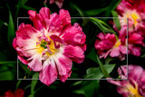 Zeeland Tulip Fields 7 by corngrowth, photography->flowers gallery