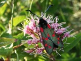 Six Spot Burnet by Si, photography->insects/spiders gallery
