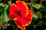Hibiscus by corngrowth, photography->flowers gallery