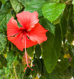 Red Hawaiian Hibiscus by Pistos, photography->flowers gallery