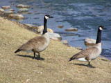 Geese Uncolored by kidder, Photography->Animals gallery