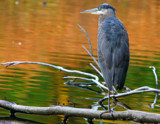 Autumn Heron II by legster69, Photography->Birds gallery